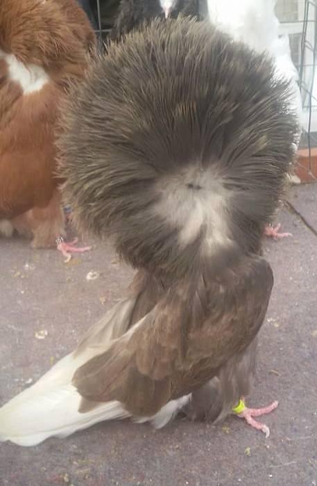 Jacobin pigeons 099