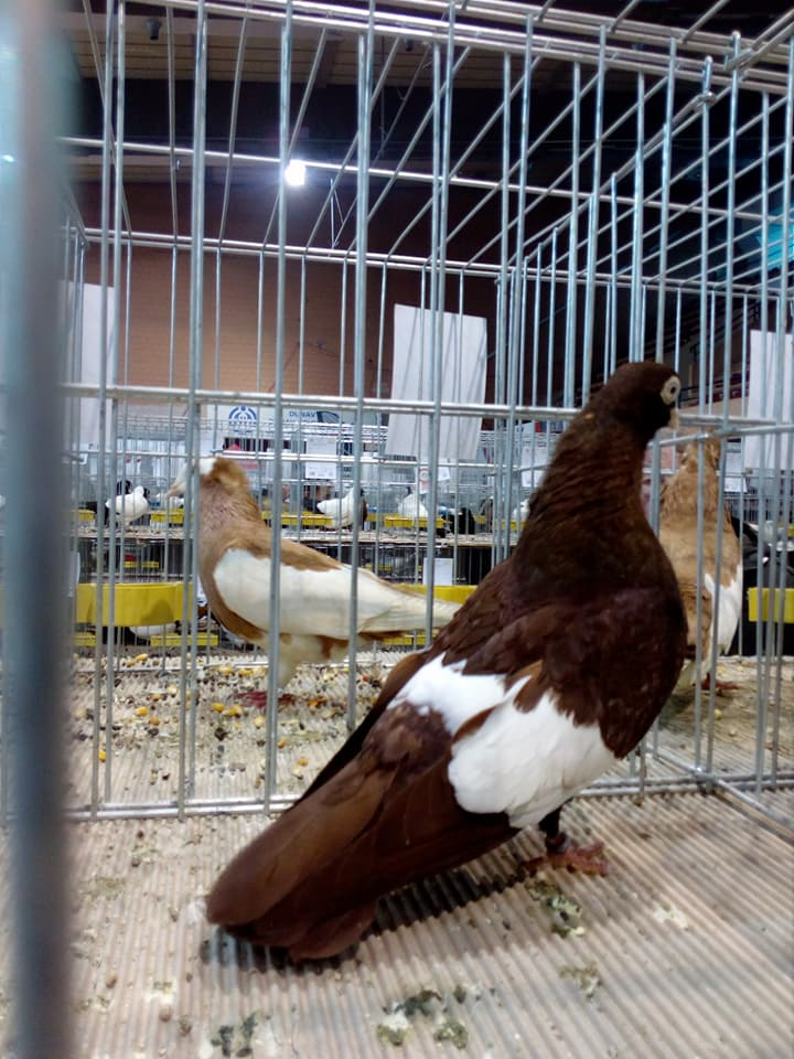 Suboticki Beloprugasti Pigeons 003