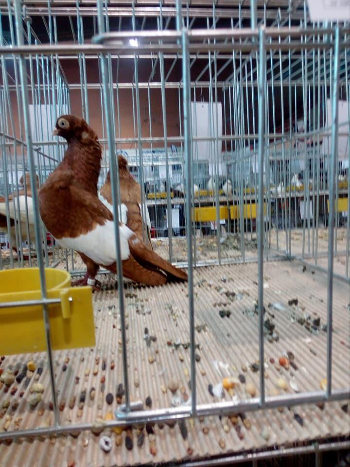 Suboticki Beloprugasti Pigeons 004