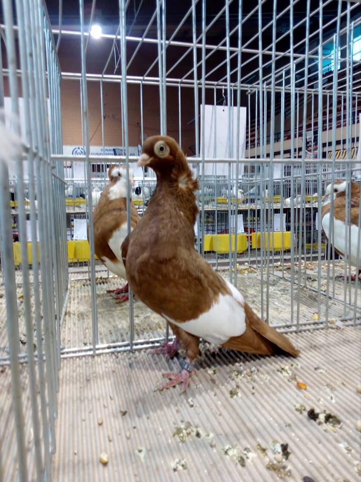 Suboticki Beloprugasti Pigeons 005