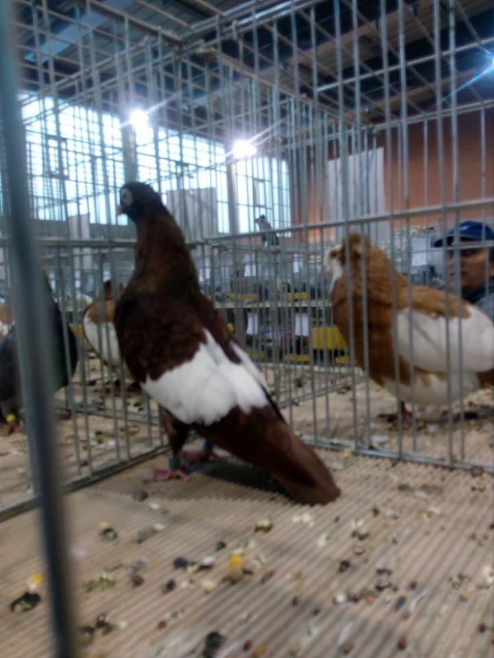 Suboticki Beloprugasti Pigeons 009