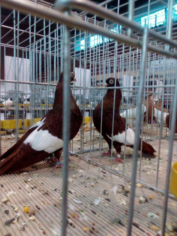 Suboticki Beloprugasti Pigeons 012