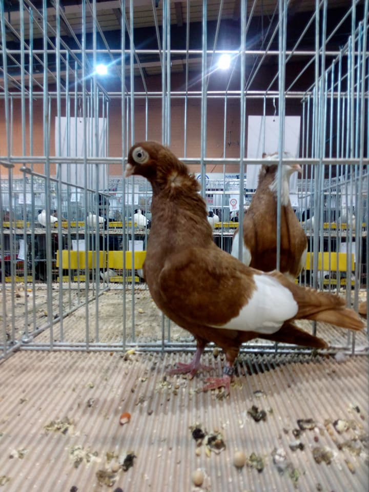 Suboticki Beloprugasti Pigeons 017