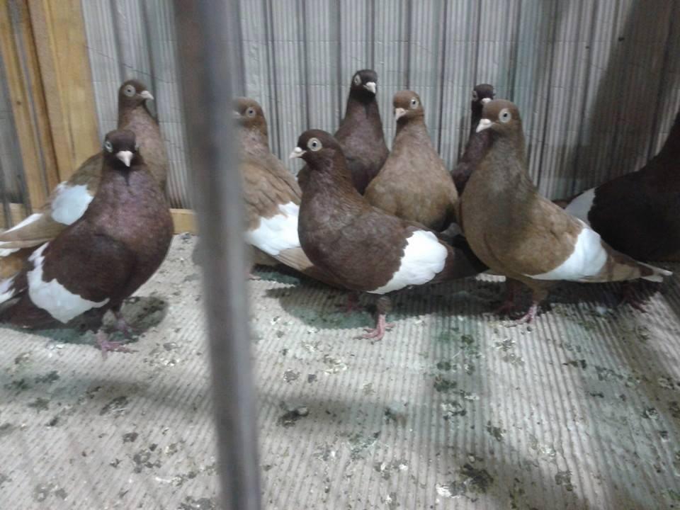 Suboticki Beloprugasti Pigeons 018