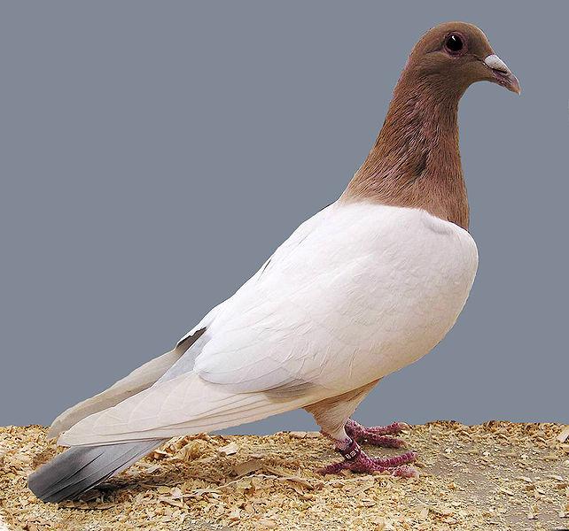 Nuremburg lark Pigeon 10 (barless mealie)