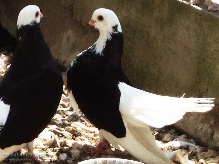 0 - Akkafa Bulgaristan Belostin güvercini