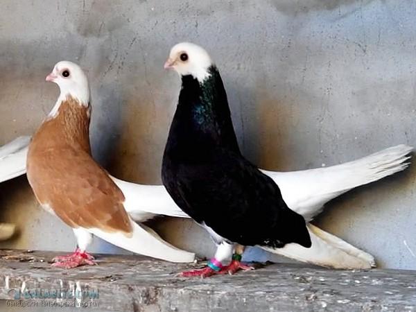 9 1 - Akkafa Bulgaristan Belostin güvercini