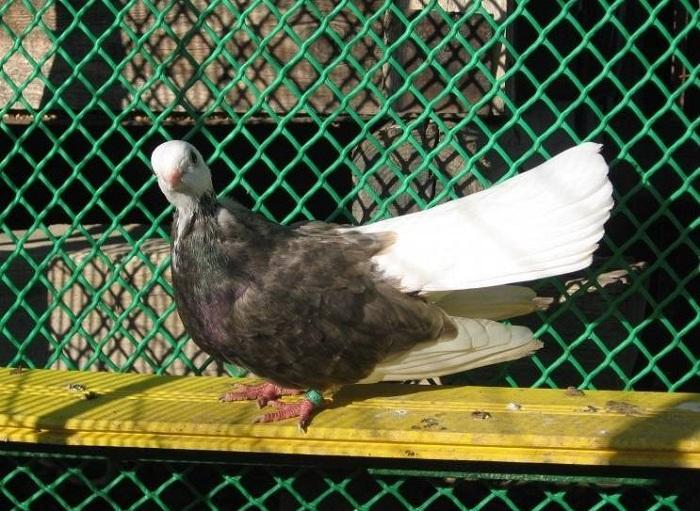Beloslatiner Weisskopf Roller - Akkafa Bulgaristan Belostin güvercini