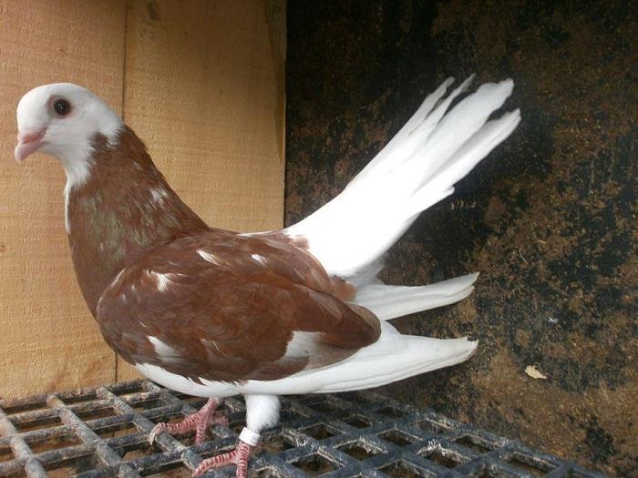Rouleur de Beloslatina tete blanc - Akkafa Bulgaristan Belostin güvercini