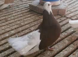 images 1 1 - Akkafa Bulgaristan Belostin güvercini