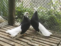 indir 1 1 - Akkafa Bulgaristan Belostin güvercini