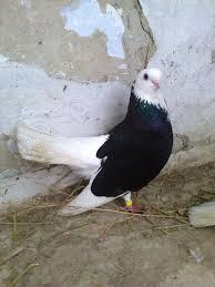 indir 2 - Akkafa Bulgaristan Belostin güvercini