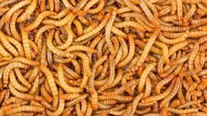 indir 3 - Un Kurdu Böceğinin Besin İçeriği ve Kanatlı Hayvan Beslemede Kullanım İmkânları
