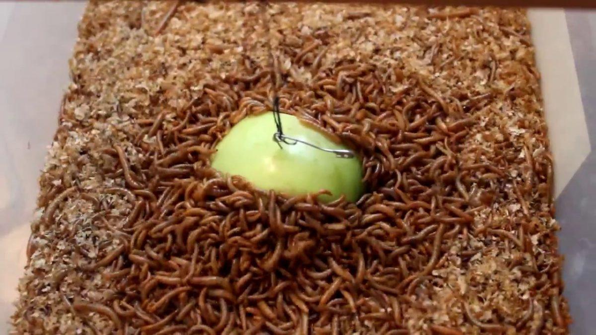 maxresdefault 1200x675 - Un Kurdu Böceğinin Besin İçeriği ve Kanatlı Hayvan Beslemede Kullanım İmkânları