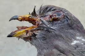 pigeon diseases - BAKTERİ KÖKENLİ GÜVERCİN HASTALIKLARI
