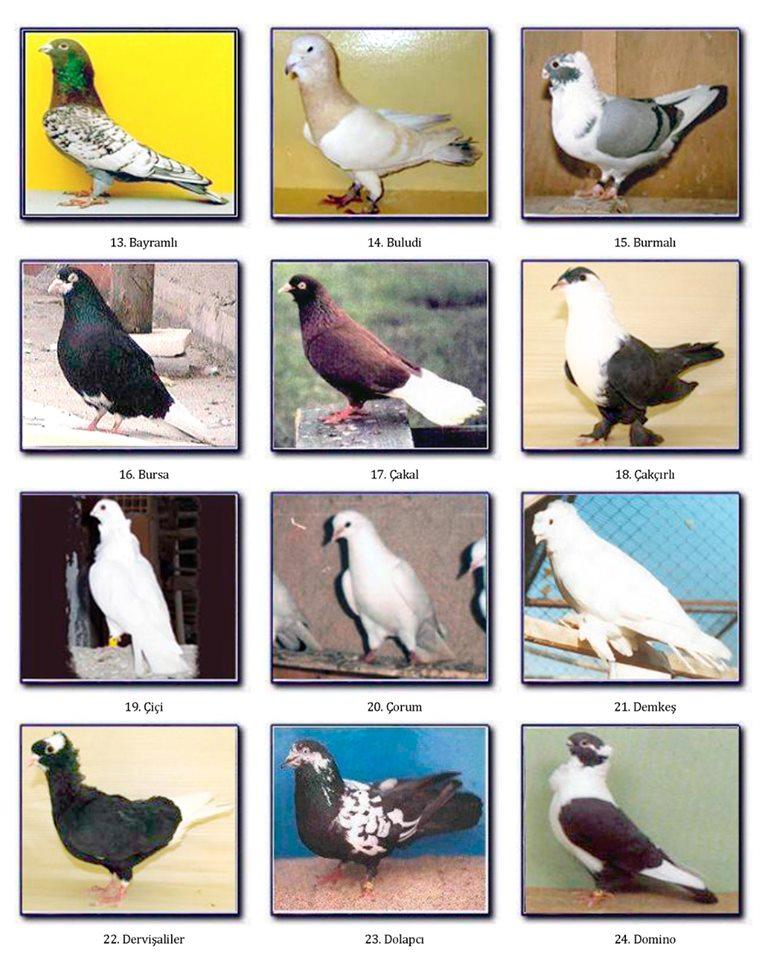 türk güvercinleri