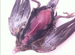 kuşlarda kuruma hastalığı ile ilgili görsel sonucu