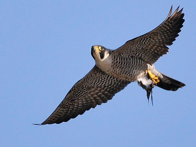 26935 peregrine falcon 2262 - Kuş uçuranların dikkatine