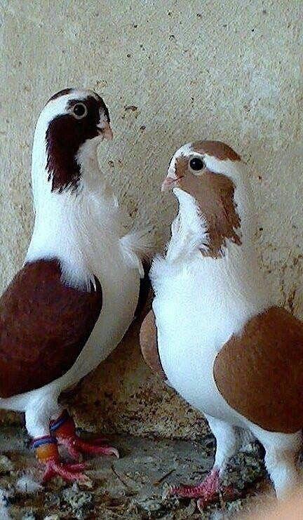 süs güvercinleri 003 - Süs güvercinleri
