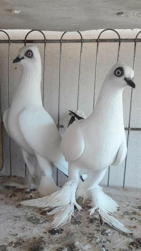 süs güvercinleri 004 - Süs güvercinleri