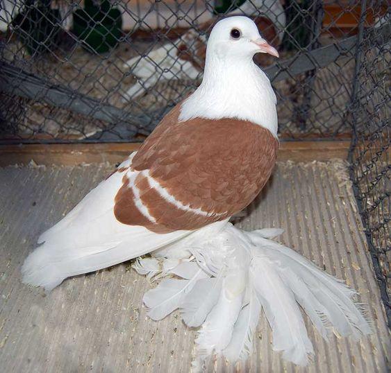süs güvercinleri 006 - Süs güvercinleri