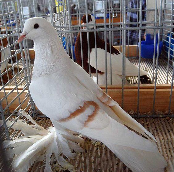 süs güvercinleri 008 - Süs güvercinleri