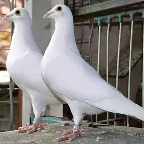 süs güvercinleri 014 - Süs güvercinleri