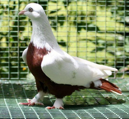 süs güvercinleri 018 - Süs güvercinleri
