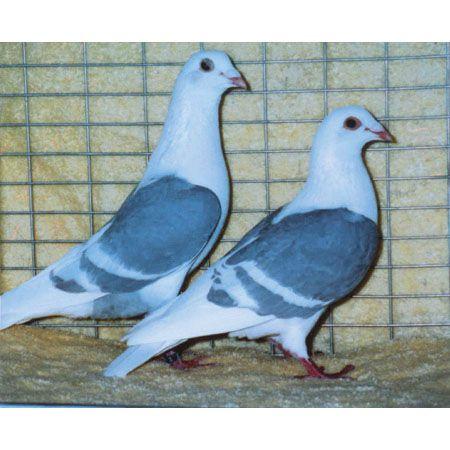 süs güvercinleri 019 - Süs güvercinleri