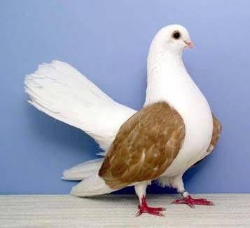 süs güvercinleri 022 - Süs güvercinleri