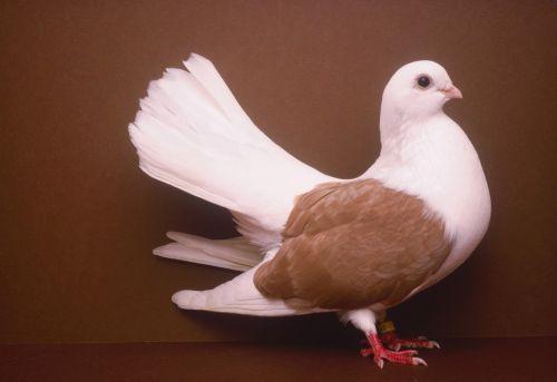 süs güvercinleri 023 - Süs güvercinleri