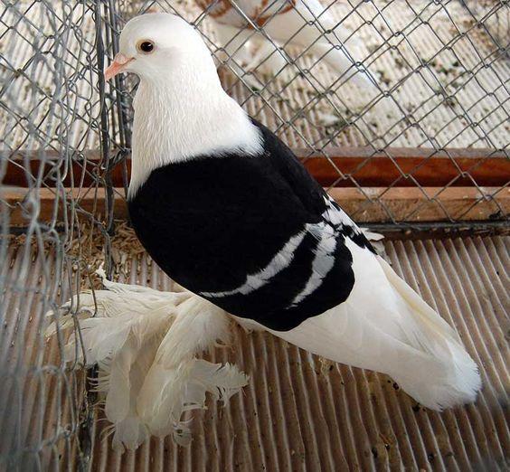 süs güvercinleri 024 - Süs güvercinleri