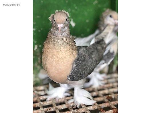 Hayvanlar Alemi / Kümes Hayvanları / Güvercin